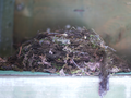 Nest of Cordilleran Flycatcher bird.png