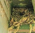 Nest van winterkoninkje (Troglodytes troglodytes) 02.JPG