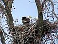 Nesting Bald Eagles (26372056965).jpg