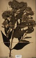 Neuchatel Herbarium Types NEU000113040.tif