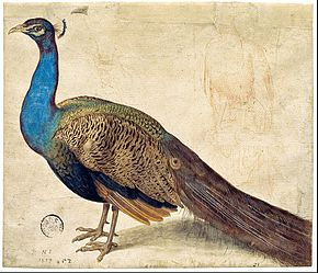 Nicolaus Juvenel - Peacock - Google Art Project.jpg