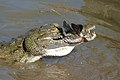 Nile Crocodile (Crocodylus niloticus) trying to swallow a big Tilapia (Oreochromis sp.)... (16818791986).jpg