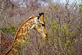Nkomazi Game Reserve, South Africa (22652702475).jpg