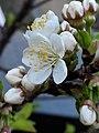 Noordwijk - Bloem van appelboom.jpg
