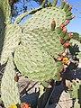 Nopal (Opuntia sp.) en abril.jpg