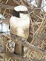 Northern White-crowned Shrike Eurocephalus ruepelli in Tanzania 0525 cropped Nevit.jpg