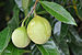 English: Nutmegs (Myristica fragrans) on a tre...