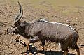 Nyala Bull (Tragelaphus angasii) (6607265433).jpg