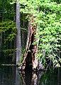 Nyssa aquatica oldtree.jpg