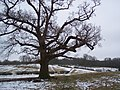 Oak tree on High Weald Landscape Trail - geograph.org.uk - 1711083.jpg