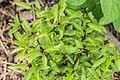 Ocimum basilicum in Jardin des 5 sens (1).jpg