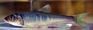 <i>Zacco</i> (fish) Genus of fishes