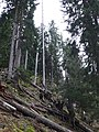 Old growth spruce forest.jpg