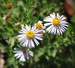 meaning of olearia
