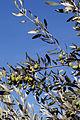 Olives (Tanche) (Drome 26000) Cl9.J Weber (8) (22754136237).jpg