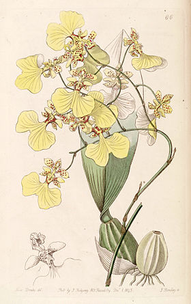 Oncidium bicolor - Edwards vol 29 (NS 6) pl 66 (1843).jpg