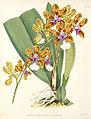Oncidium lanceanum111.jpg