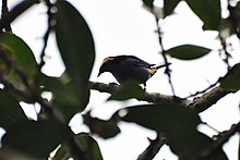 Opal-crowned Tanager (5330276630).jpg