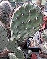 Opuntia marnierana.jpg