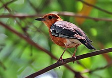 Orange-headed Thrush (Zoothera citrina) at Narenderpur near Kolkata I IMG 7658.jpg