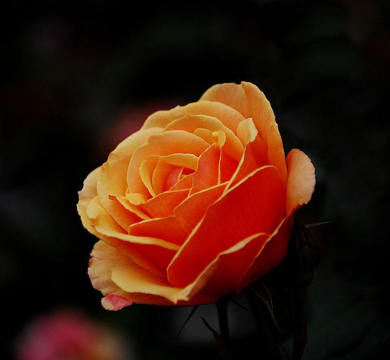 Orange Rose1.jpg
