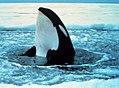 Orca wal 2.jpg