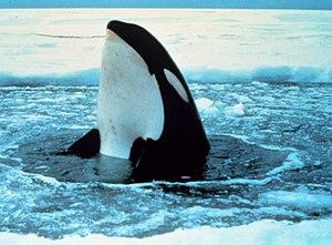Orca wal 2