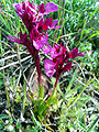 Orchis papilionacea 2Miguelturra.jpg