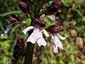 Orchis purpurea (14231768863).jpg
