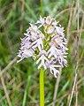 Orchis x hybrida in Causse du Larzac (1).jpg
