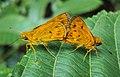 Oriens goloides - Smaller Dartlet Mating 01.JPG