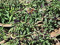 Ornamental chilli from lalbagh 2308.JPG