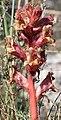 Orobanche alba inflorescence (15).jpg