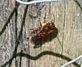 Osmia species male, close to leaiana-niveata. (31572922603).jpg