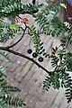 Osteomeles schwerinae (Rosaceae) (27333686851).jpg