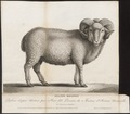 Ovis aries - 1700-1880 - Print - Iconographia Zoologica - Special Collections University of Amsterdam - UBA01 IZ21300081.tif