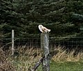 Owl at Wilberfoss - geograph.org.uk - 737802.jpg