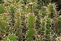 Pájara La Lajita - Oasis Park - Euphorbia grandicornis 05 ies.jpg