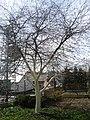 Před jarní bílení kmenů ovocných stromů 01.jpg