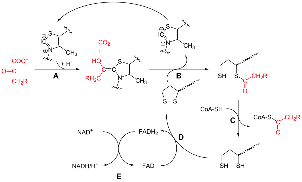 Once the pyruvate makes its way into the matrix of the mitochondrion it must undergo a process called pyruvate decarboxylation that is catalyzed by an enzyme complex called the pyruvate dehydrogenase complex In this process an acetyl group of pyruvate is transferred onto a carrier molecule called coenzyme A