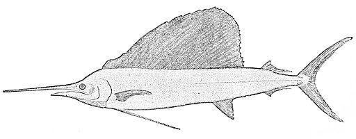 PSM V26 D359 The american sailfish istiophorus americanus