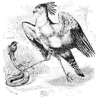 PSM V44 D611 Fight between a secretary bird and a snake.jpg
