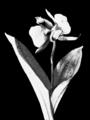 PSM V55 D391 Twin flowered cypripedium acaule.png