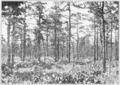 PSM V85 D349 Typical pine barrens of pitch pine near lakehurst nj.png