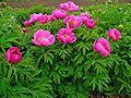 Paeonia officinalis 001.JPG