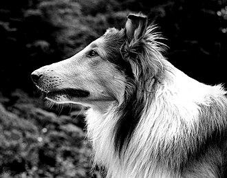 Pal (dog) - Pal in 1942