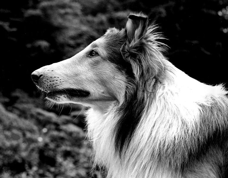 Perros famosos que nunca se han de olvidar 765px-Pal_as_Lassie_1942
