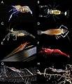 Palaemonidae (10.3897-zookeys.646.11397) Figure 3.jpg