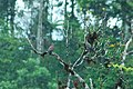 Pale-vented Pigeon 2015-06-07 (1) (39421200855).jpg