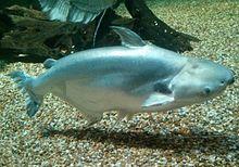 Pangasius wikipedia for Swai fish wiki